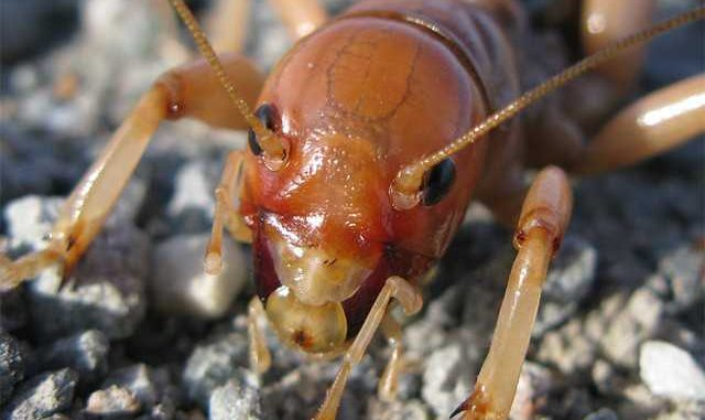 what does a potato bug look like